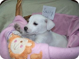 Terrier (Unknown Type, Small)/Chihuahua Mix Puppy for adoption in Paris, Illinois - Sassy