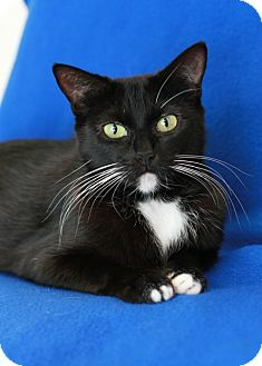 Domestic Shorthair Cat for adoption in Coronado, California - Anise