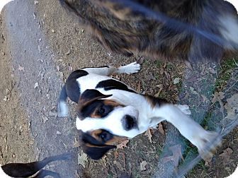 Bernese Mountain Dog Mix Puppy for adoption in Hatifeld, Pennsylvania - Harley Lou