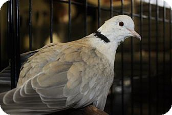 Dove for adoption in Lowell, Massachusetts - Peace & Harmony