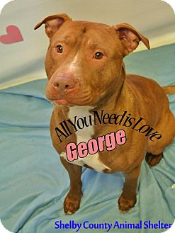 Pit Bull Terrier Mix Dog for adoption in Sidney, Ohio - George