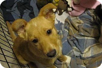 Sheltie, Shetland Sheepdog/Cattle Dog Mix Puppy for adoption in Sparks, Nevada - Hope