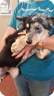 Australian Shepherd/Collie Mix Dog for adoption in Wichita Falls, Texas - Wobbles
