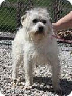 Westie, West Highland White Terrier Mix Dog for adoption in Newburgh, Indiana - Big boy