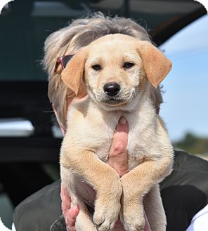 Labrador Retriever Mix Puppy for adoption in Groton, Massachusetts - Winston