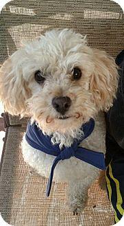 Poodle (Miniature)/Bichon Frise Mix Dog for adoption in Pasadena, California - RUFO