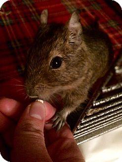 Degu for adoption in Grand Rapids, Michigan - Chubbs