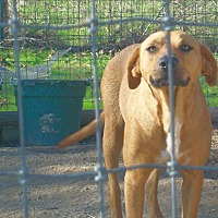 Black Mouth Cur/Hound (Unknown Type) Mix Dog for adoption in Mexia, Texas - Sandy