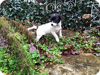 Chihuahua/Beagle Mix Puppy for adoption in Moody, Alabama - Claude