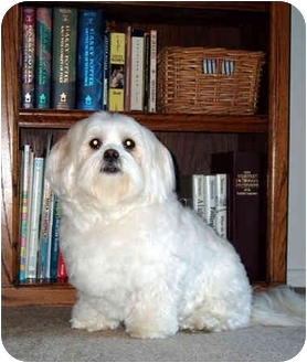 Shih Tzu/Lhasa Apso Mix Dog for adoption in Los Angeles, California - SHELBY