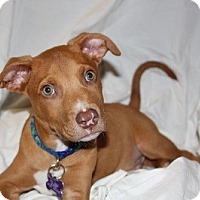 Adopt A Pet :: Calvin - Sacramento, CA