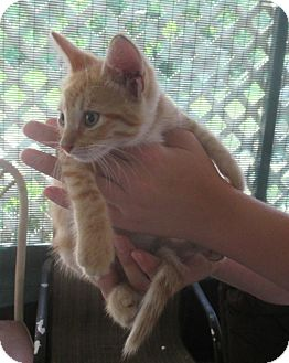 Domestic Shorthair Kitten for adoption in Edgewater, Florida - Mango