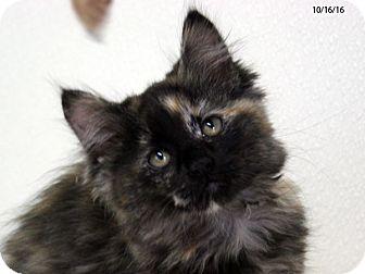 Domestic Mediumhair Kitten for adoption in Republic, Washington - Magenta