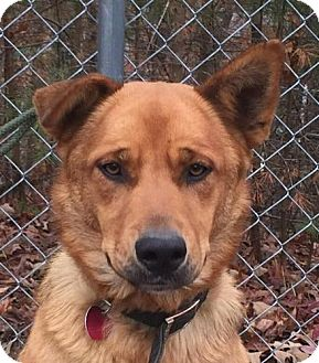Shepherd (Unknown Type) Mix Dog for adoption in Harrisonburg, Virginia - Buddy