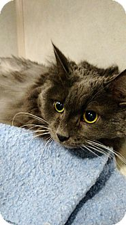 Domestic Longhair Cat for adoption in Chaska, Minnesota - Spooky