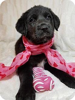Australian Shepherd Mix Puppy for adoption in Newark, Delaware - Amanda