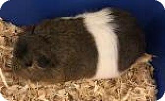 Guinea Pig for adoption in Columbus, Georgia - Guinea