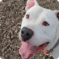 Pit Bull Terrier Dog for adoption in Decatur, Illinois - TONY