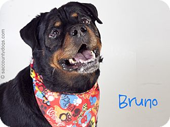 Rottweiler Dog for adoption in Tracy, California - Bruno
