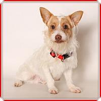 Adopt A Pet :: Iggy - Glendale, AZ
