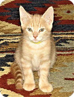 Domestic Shorthair Kitten for adoption in Coldspring, Texas - Kachemak