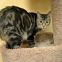 Domestic Shorthair Cat for adoption in DFW Metroplex, Texas - Michael Angelo