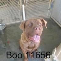 Adopt A Pet :: Boo - Manassas, VA