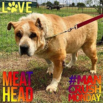 Boxer/Shar Pei Mix Dog for adoption in Quinlan, Texas - Meathead