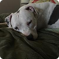 Adopt A Pet :: Zola - Las Vegas, NV