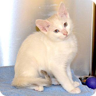 Domestic Shorthair Kitten for adoption in Eastsound, Washington - Luna
