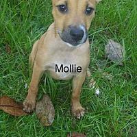 Adopt A Pet :: Molly - SOUTHINGTON, CT