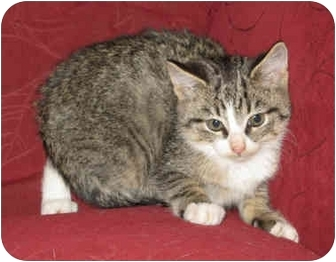 Domestic Shorthair Kitten for adoption in South Windsor, Connecticut - Josh