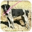 Photo 3 - English Pointer Mix Puppy for adoption in Muldrow, Oklahoma - Jo Beth