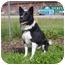 Photo 1 - Border Collie Dog for adoption in Austin, Minnesota - Pepper