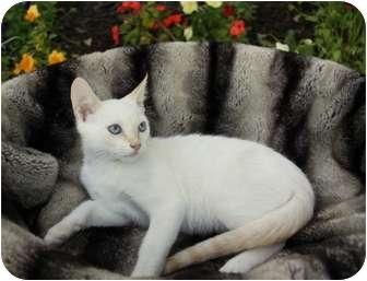 Siamese Kitten for adoption in Newport Beach, California - CHILI