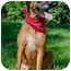 Photo 1 - German Shepherd Dog/Rhodesian Ridgeback Mix Dog for adoption in Afton, Tennessee - Daisy