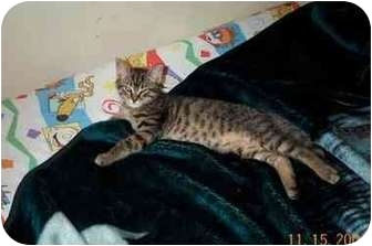 Domestic Shorthair Kitten for adoption in San Diego/North County, California - Joey