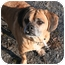 Photo 2 - Pug/Beagle Mix Dog for adoption in Islip, New York - Herbie