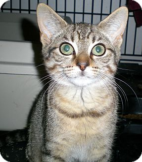 Domestic Shorthair Cat for adoption in Troy, Michigan - Aris