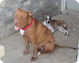 American Pit Bull Terrier/Border Collie Mix Dog for adoption in Copperas Cove, Texas - Molly