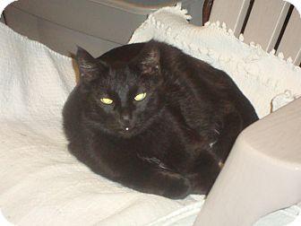 Domestic Mediumhair Cat for adoption in Elmhurst, Illinois - Max