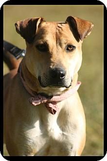 Boxer/Labrador Retriever Mix Dog for adoption in Cranford, New Jersey - Huxley