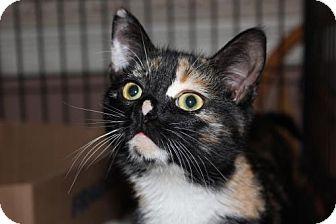 Domestic Shorthair Kitten for adoption in Westfield, Massachusetts - Tinkerbell