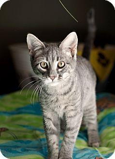 Domestic Shorthair Kitten for adoption in Carencro, Louisiana - Greg