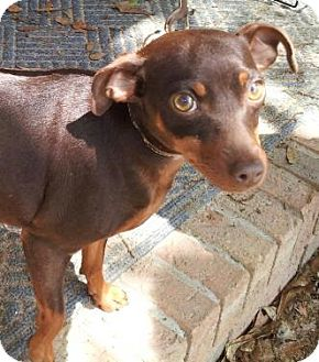 Miniature Pinscher Dog for adoption in Daleville, Alabama - Penny
