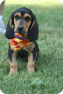 Basset Hound Mix Puppy for adoption in Brattleboro, Vermont - Jed