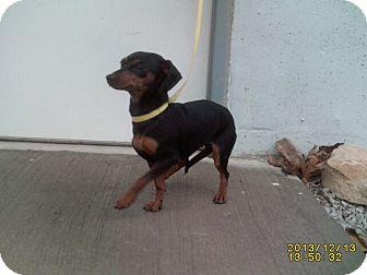 Dachshund Mix Dog for adoption in El Dorado Springs, Missouri - Doxie