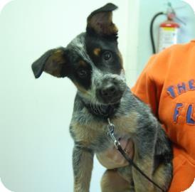 Blue Heeler Mix Puppy for adoption in Bradenton, Florida - Ranger