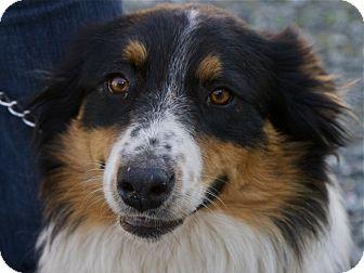 Australian Shepherd Mix Dog for adoption in San Andreas, California - Sparkey