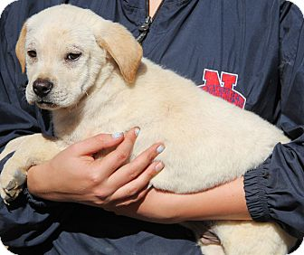 Labrador Retriever Mix Puppy for adoption in Chicago, Illinois - Brody